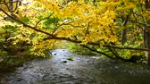 pomarańcza : Water stream with nature sounds flowing through the beautiful autumn forest on Oirase walking trail in Towada Hachimantai National Park,  Aomori, Japan