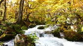 sesleri : Water stream with nature sounds flowing through the beautiful autumn forest on Oirase walking trail in Towada Hachimantai National Park,  Aomori, Japan