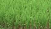 Young sprouts of rice at the rice field in Vietnam