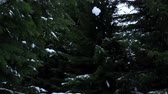 christmass : Snow fall down from the fir-trees branch