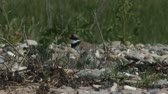 ringed : common ringed plover