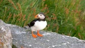 colorful : puffin