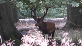 male animal : red deer Stock Footage