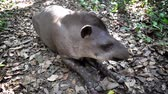 brasileiro : Tapir relaxing in the Amazon rain forest in Bolivia