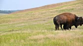 ассортимент : View of bison in Custer State Park in South Dakota