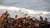 wrack : Black bellied plovers on beach wrack with waves in the background at Andrew Molera State Park in California