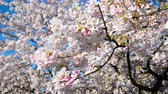 scénický : Closeup view of a branch of a cherry blossom tree with more cherry blossoms out of focus in the background