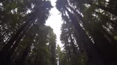 Looking up at Redwood trees in Humboldt Redwoods State Park in California