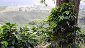 View of coffee plants near Manizales, Colombia