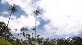 Timelapse of clouds passing by wax palm trees in the Cocra Valley near Salento, Colombia Stock Footage