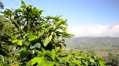 View of a coffee plant with a beautiful landscape behind it in Caldas, Colombia