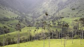 Beautiful view of wax palm trees in the Cocora Valley near Salento, Colombia