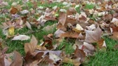 oak : Wind blowing autumn leaves around on a grassy lawn