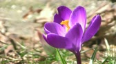lilás : Purple Crocus in Gentle Breeze