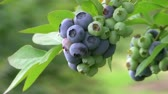 ягода : A bunch of blueberries wave gently on the branch of the bush