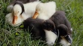 patitos : Closeup of ducklings laying on a green grass in a park