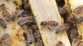 cocon : Bees build honeycombs and convert nectar into honey. closeup of bees on honeycomb in apiary