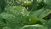 deštivý : Driving rain starts. Waterdrops wash foliage. Rain pouring on green leaves in garden. SLOW MOTION, CLOSE UP