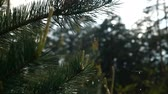 deštivý : Close up of rain droplets falling from pine tree branches. in slow motion