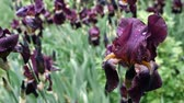 colorful backgrounds : Water drops on deep purple burgundy iris flower after rain.Wet purple bearded iris flowers in a garden