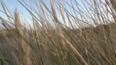 camera movement through the dry high grass in summer at the beach at sunset, slow motion.