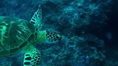 barreira : Swimming with a beautiful green turtle in Australia. Vídeos