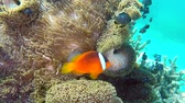 deniz yaşamı : Tropical clownfish swim within the confines of their protective host anemone for protection