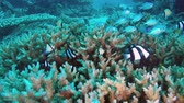 Tropical fish dart in and out of a healthy coral head, which they use for protection from predators. Stock Footage