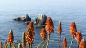 aloes : Beautiful orange Aloe Vera blooms highlight a beautiful, blue ocean in southern California during a bright day