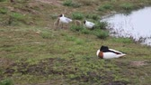 seagull : Two adult black headed gulls, Chroicocephalus ridibundus, with two chicks searching for food by the side of a lake with a shelduck, Tadorna tadorna, in the foreground. Stock Footage