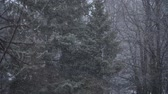 forest : the window went first snow with large snowflakes Stock Footage