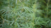 bağımlılık yapan : Wild agricultural hemp grows in the countryside Stok Video