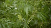 bağımlılık yapan : leaves of young and wild hemp swing from the wind in rainy weather