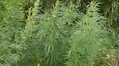 legalize : wild bushes of young hemp waving by the wind