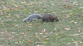 erkély : Squirrel Foraging For Food With Leaves On The Ground II