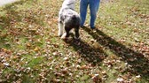 овчарка : Excited Sheep Dog Herding Canine Animal On Leash With Owner
