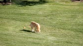 panting : Golden Retriever Playing With Orange Ball In Grassy Lawn Meadow 4K