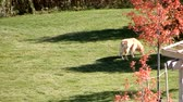 olhos castanhos : 4K Golden Retriever Sniffing Around Trees Aerial View