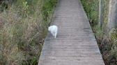 лапы : 4K White Poodle Running Down Walkway With Grass On Both Sides Стоковые видеозаписи