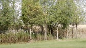 coniferous trees : 4K Wood Thicket With Green Lawn Cornfield