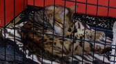 родословная : Bengal Cat Licking Itself In Cat Cage With Striped Zebra Blanket 4K