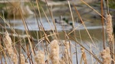 lamacento : Bullrushes Cat Tails Swaying In Wind With Ducks 4K Stock Footage