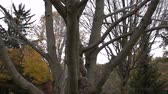 nozes : Squirrel Jumping Down Tree Branches Super Slow Motion