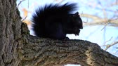 nozes : 4K Black Squirrel Eating Nut In Tree On Windy Day
