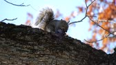 nozes : 4K Gray Squirrel Eating Nuts On Tree