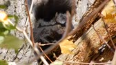nozes : 4K Windy Day and Black Squirrel Looking Straight Ahead Stock Footage