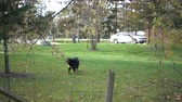 родословная : Slow Motion Dog Barking On Green Lawn Fence In Front Стоковые видеозаписи