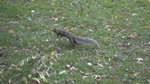 nozes : Slow Motion Squirrel Jumping And Running On Grass 002