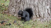 nozes : 4K Black Squirrel Closeup At Tree Trunk Base Eating Nut