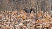 nozes : 4K Black Squirrel Foraging For Food Amongst Forest Floor